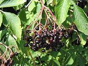 Bez czarny - Sambucus nigra