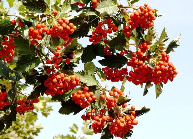 Jarząb szwedzki - Sorbus intermedia