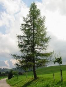 Modrzew europejski - Larix decidua