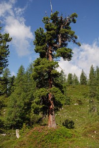 Sosna limba - Pinus cembra