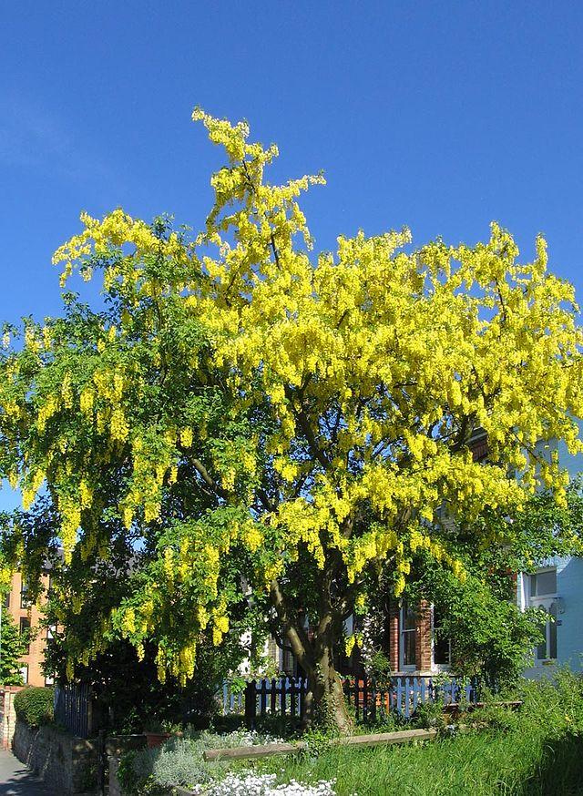 Złotokap zwyczajny - Laburnum anagyroides